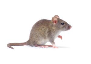 mouse pest control